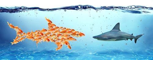 Collaboration goldfish shark 2-1